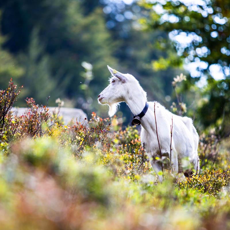 Geißenpfad Menzenschwand Nordic Walking